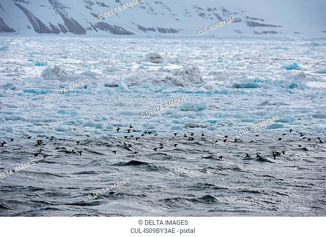 Bruennich's Guillemots (Uria lomvia) flying near coast, Alkefjellet, Spitsbergen, Svalbard, Norway