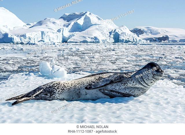 Adult leopard seal (Hydrurga leptonyx) on ice in Cierva Cove, Antarctic Peninsula, Antarctica, Southern Ocean, Polar Regions