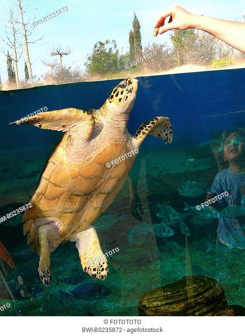 loggerhead sea turtle, loggerhead Caretta caretta, little boy at the pane of an outdoor aquarium watching his mother luring an animal with fake food, Spain