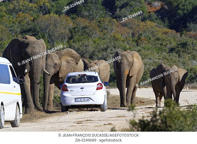 African bush elephants (Loxodonta africana), herd with calves walking, tourist cars stopped on the side of a dirt road, Addo Elephant National Park