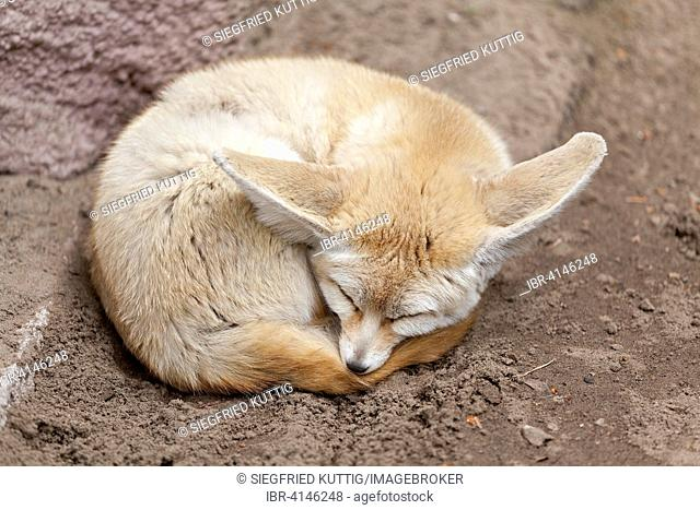 Desert fox or fennec fox (Vulpes zerda) sleeps curled up on the ground, zoo, Ueckermünde, Szczecin Lagoon, Mecklenburg-Western Pomerania, Germany