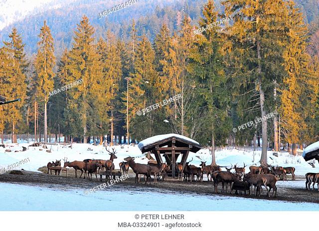 Germany, Bavaria, Isar valley, wild feeding, winter gate, red deer