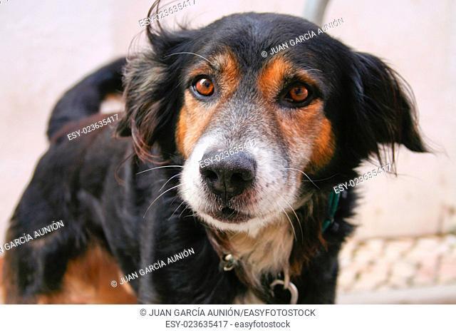 Angry dog just before bark. Closeup shot, Lagos, Portugal