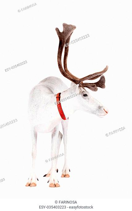 Reindeer, Rangifer tarandus, 4 years old, on the white background
