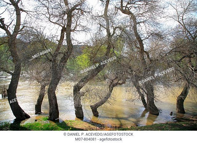 Spring Rio Ebro, silver poplar