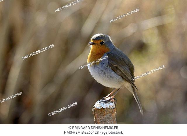 France, Territoire de Belfort, Belfort, vegetable garden, familiar Robin (Erithacus rubecula)