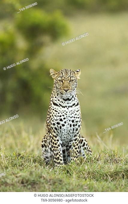 Leopard. Panthera pardus. Kenia. Africa