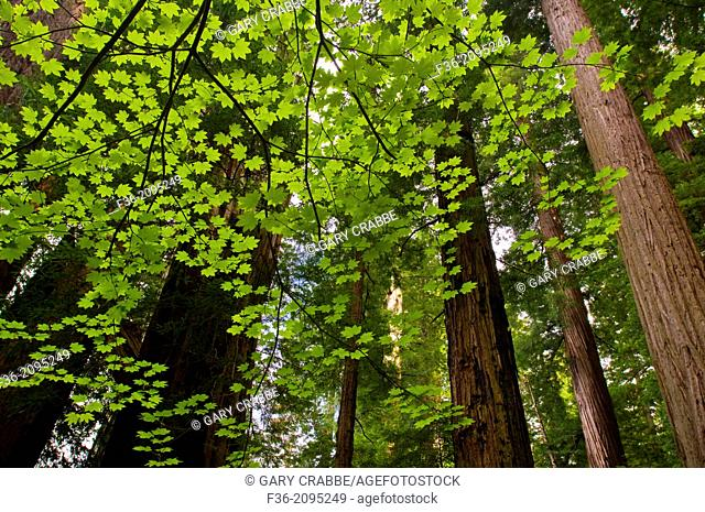 Sunlit Vine Maple leaves and Redwood trees in forest at Stout Grove, Jedediah Smith Redwoods State Park, California