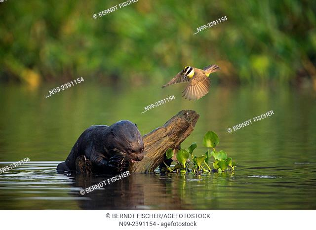 Giant otter (Pteronura brasiliensis), feeding on fish. attacked by tyrant flycatcher (Tyrannidae), Pantanal, Mato Grosso, Brazil