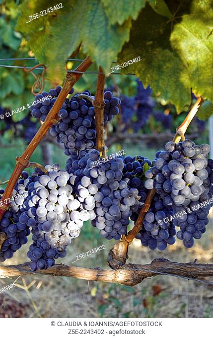 Red grapes on vine - Pelion Peninsula, Thessaly, Greece