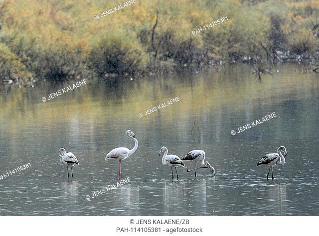 12.12.2018, Turkey, Didim: Flamingos stand in the rain on a bank in the Bafasee. The water is an inland lake formed on the western coast of Turkey from an...