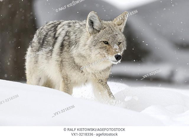 Coyote / Kojote ( Canis latrans ), adult in winter, walking, running through deep snow, cunning, shifty, angry glimpse, watching for prey, wildlife, USA