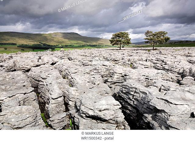 Trees on limestone pavement, Ingleborough National Nature Reserve, Yorkshire Dales, North Yorkshire, England, United Kingdom, Europe