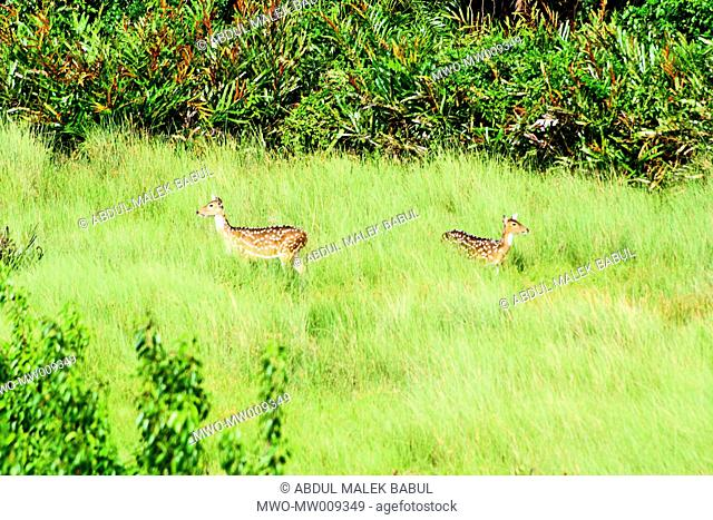 Common wild deer in the Sundarbans A UNESCO World Heritage Site, the Sundarbans is the largest mangrove forest in the world and lies on a delta at the mouth of...