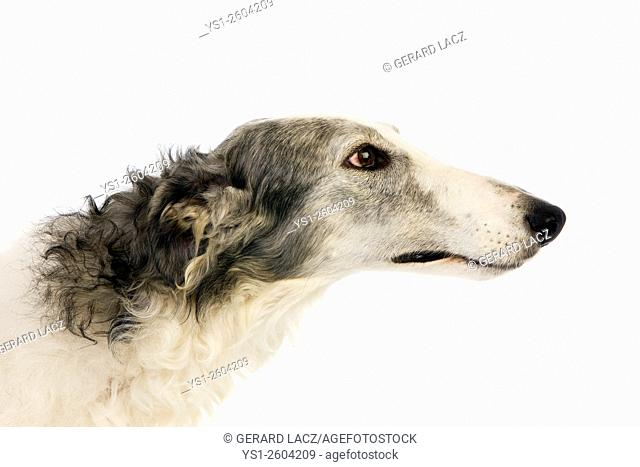 Borzoi or Russian Wolfhound, Portrait of Female against White Background