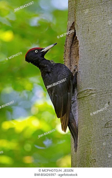 black woodpecker (Dryocopus martius), at a nesting hole, side view, Germany, Bavaria