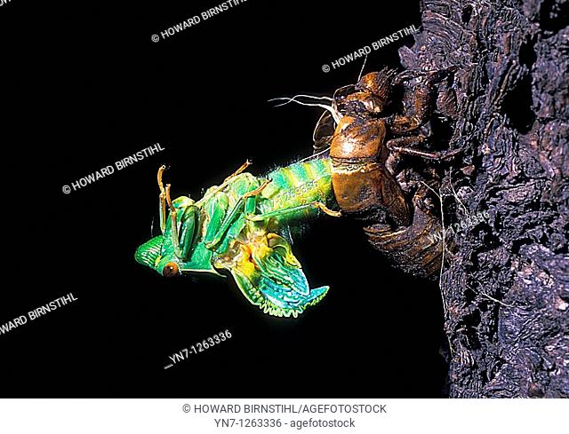 Green cicada order Hemipteraemerging at night