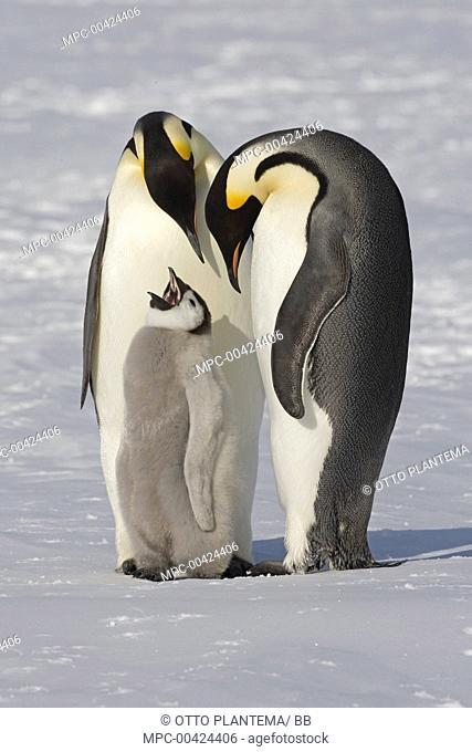 Emperor Penguin (Aptenodytes forsteri) parents with chick, Weddell Sea, Antarctica
