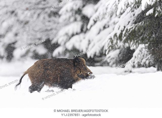 Wild boar (Sus scrofa), Tusker, Bavaria, Germany, Europe
