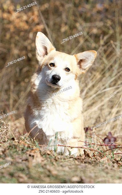 Dog Pembroke Welsh corgi / adult sitting in a wood