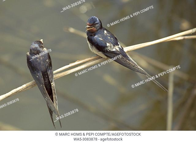 Two Barn swallow talking posed on a cane, in Aiguamolls de l'empordà Natural Park, Catalonia, Spain