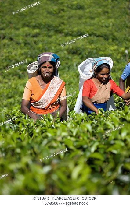 Tamil tea pluckers, Nuwara Eliya, Sri Lanka