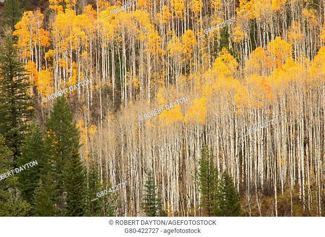 Aspens, San Juan Mountains. Colorado, USA. Fall, 2004