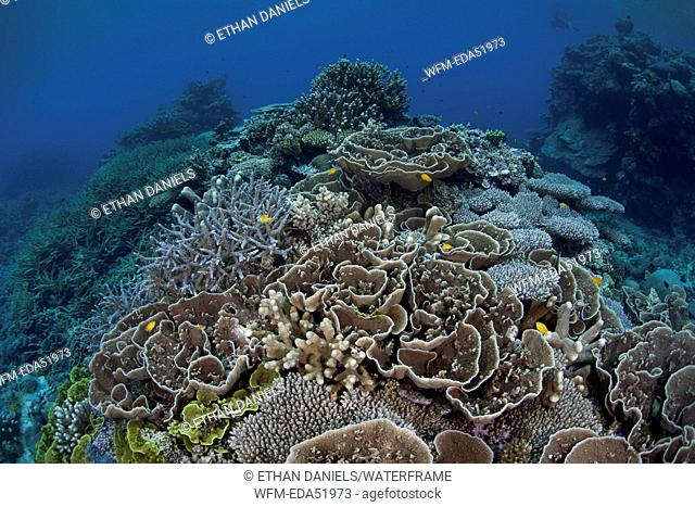 Healthy Coral Reef, Acropora sp., Melanesia, Pacific Ocean, Solomon Islands