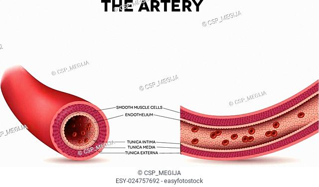 Healthy artery anatomy