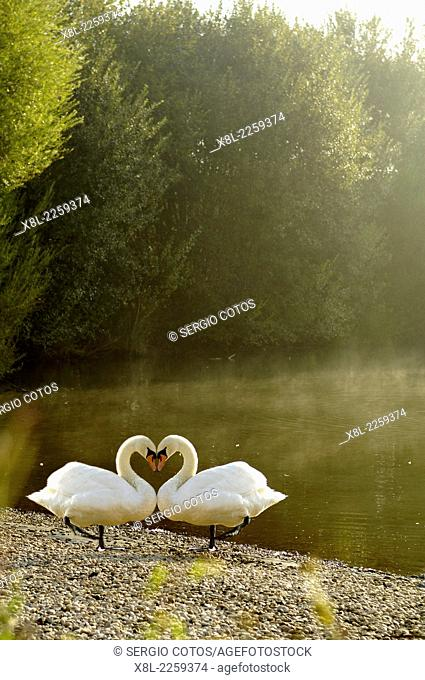 Swans, manipulated image