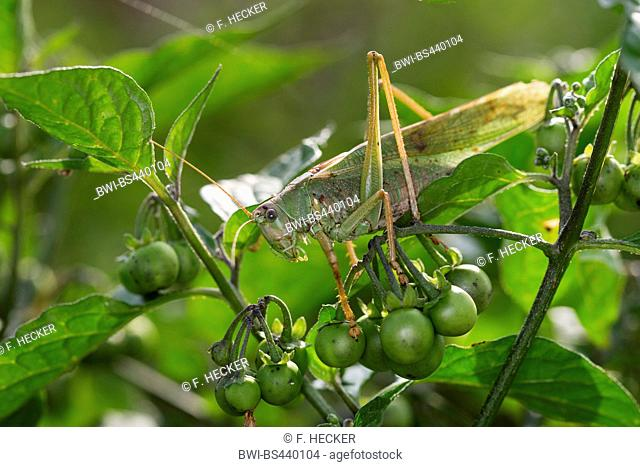 Great Green Bush-Cricket, Green Bush-Cricket (Tettigonia viridissima), male, Germany