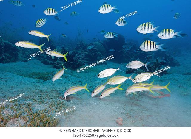 Yellowfin Goatfishes and Sergant Major Fish, Mulloidichthys martinicus, Abudefduf saxatilis, Caribbean Sea, Dominica