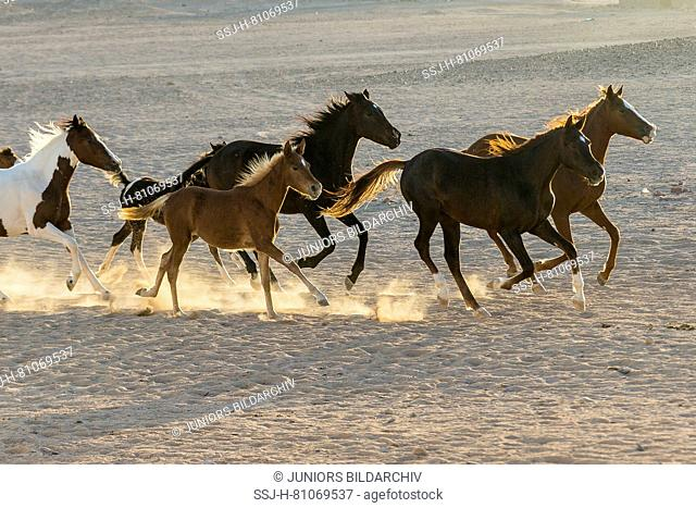 Arabian Horse. Group of juvenile mares galloping in the desert in evening light. Egypt