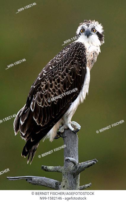 Osprey Pandion haliaetus, juvenile bird, perching on dead tree, Finland