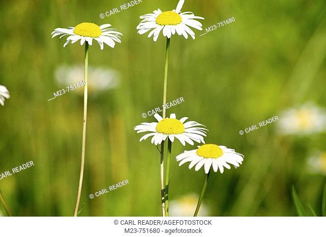 Daisies reach for the sun, Pennsylvania, USA
