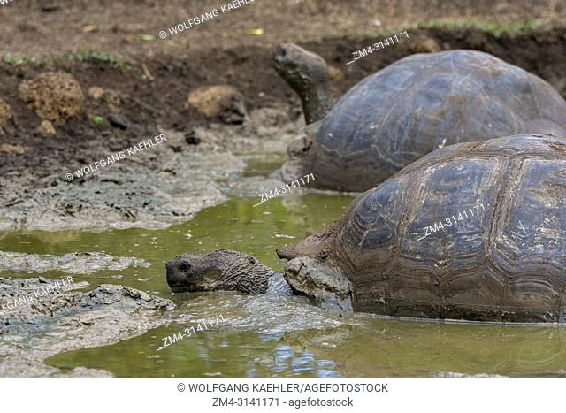 Giant Galapagos tortoises (Geochelone elephantopus) in a muddy pond in the highlands of Santa Cruz Island in the Galapagos Islands, Ecuador