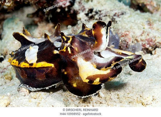 Flamboyant Cuttlefish, Metasepia pfefferi, Ambon, Moluccas, Indonesia