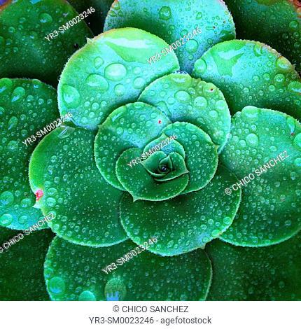 Rain drops cover a cactus in Peña de Bernal, Queretaro, Mexico
