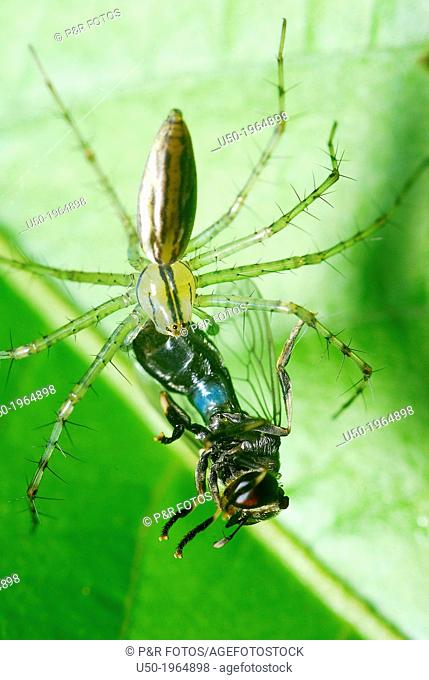 Spider killing a fly. Oxyopidae, Araneida, Arachnida