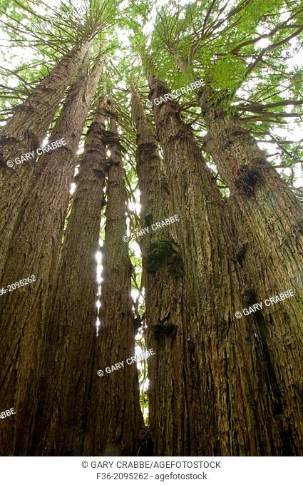 The Cathedral Redwood Tree, on the Kingdom of the Trees Trail, Trees of Mystery, Del Norte County, California