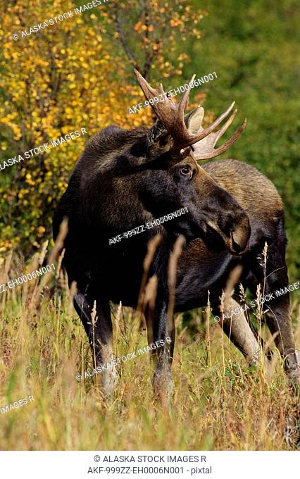 View of a small bull moose in rut walking in grass near Powerline Pass, Chugach State Park, Anchorage, Southcentral Alaska, Fall