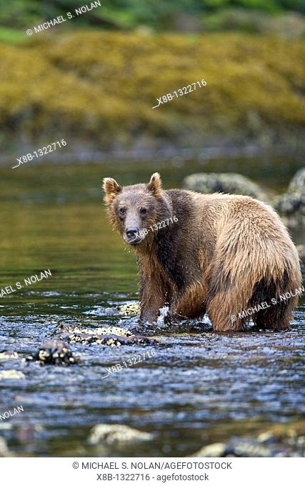 A young Brown Bear Ursus arctos scavenging and fishing for salmon along the beach on Chichagof Island in Southeast Alaska, USA  Pacific Ocean