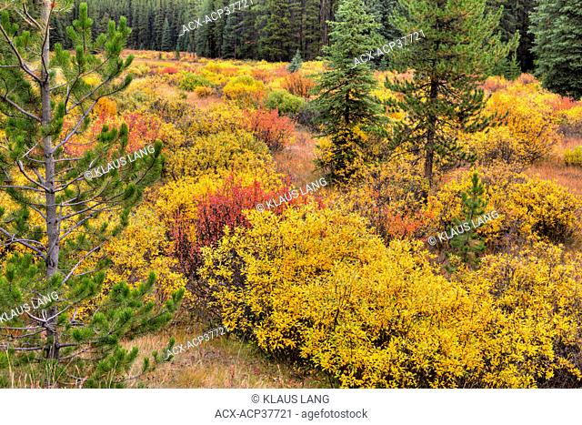 Bushes in Autumn, Bow Valley, Banff National Park, Alberta, Canada