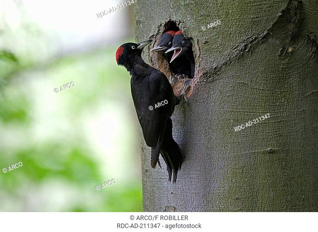 Black Woodpeckers, female and youngs, Dryocopus martius