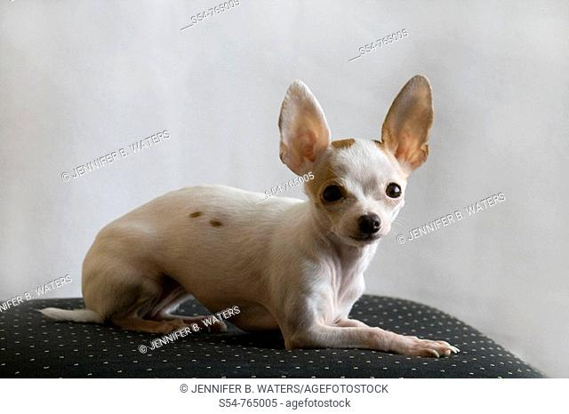 An adult female chihuahua resting