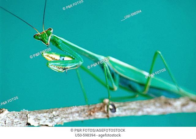 Stagmatoptera sp., Praying mantis, Mantodea: Mantidae,  Viçosa. Minas Gerais. Brazil