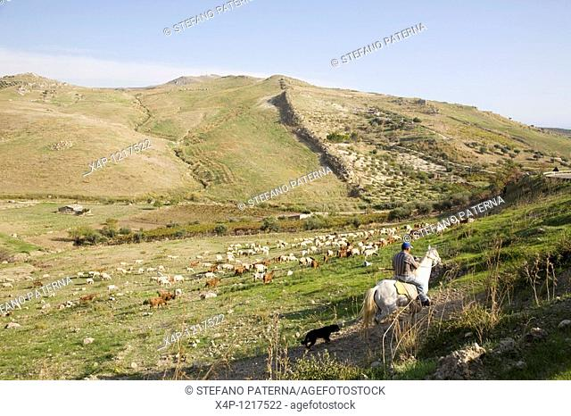A shepherd with his flock of goats, near Licata, Sicily, Italy
