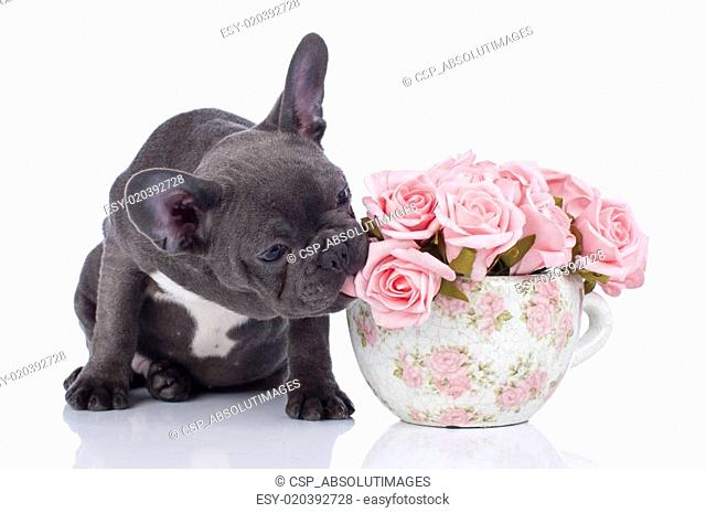French bulldog with pot of flowers