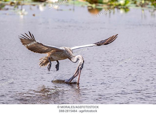 Sri Lanka, Yala national park, Spot-billed pelican or grey pelican (Pelecanus philippensis), drinking during the flight, take some water in the beak and...