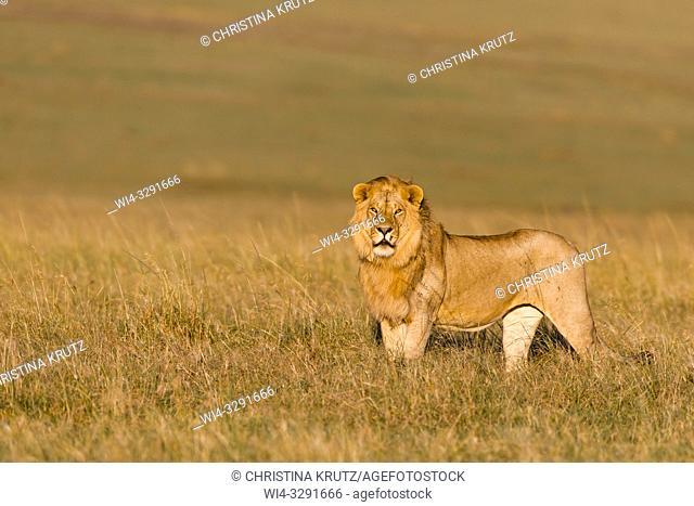 Male Lion (Panthera leo) standing in grass, Maasai Mara National Reserve, Kenya, Africa